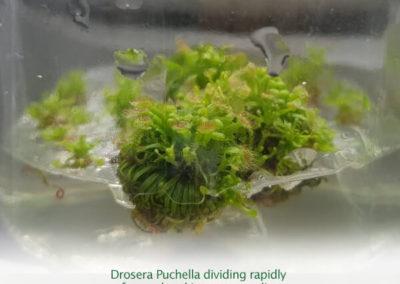 Drosera Puchella