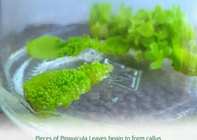 Pinguicula Leaves